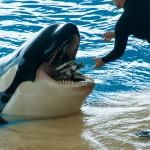 Genoeg vis voor de orka
