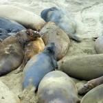 Zeeolifanten houden elkaar warm