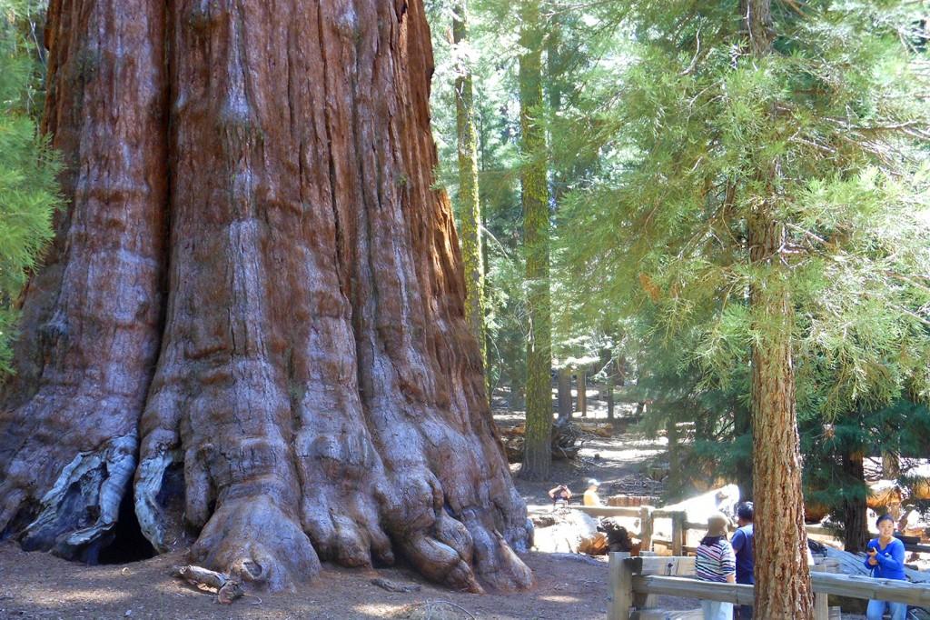 De grootste boom ter wereld
