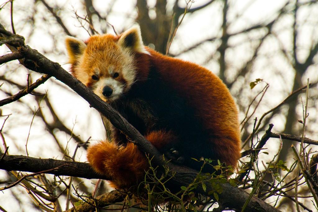 Rode panda in de dierentuin van Wenen