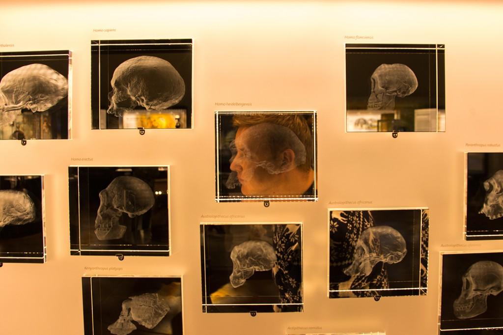 Schedels in het natuurhistorisch museum