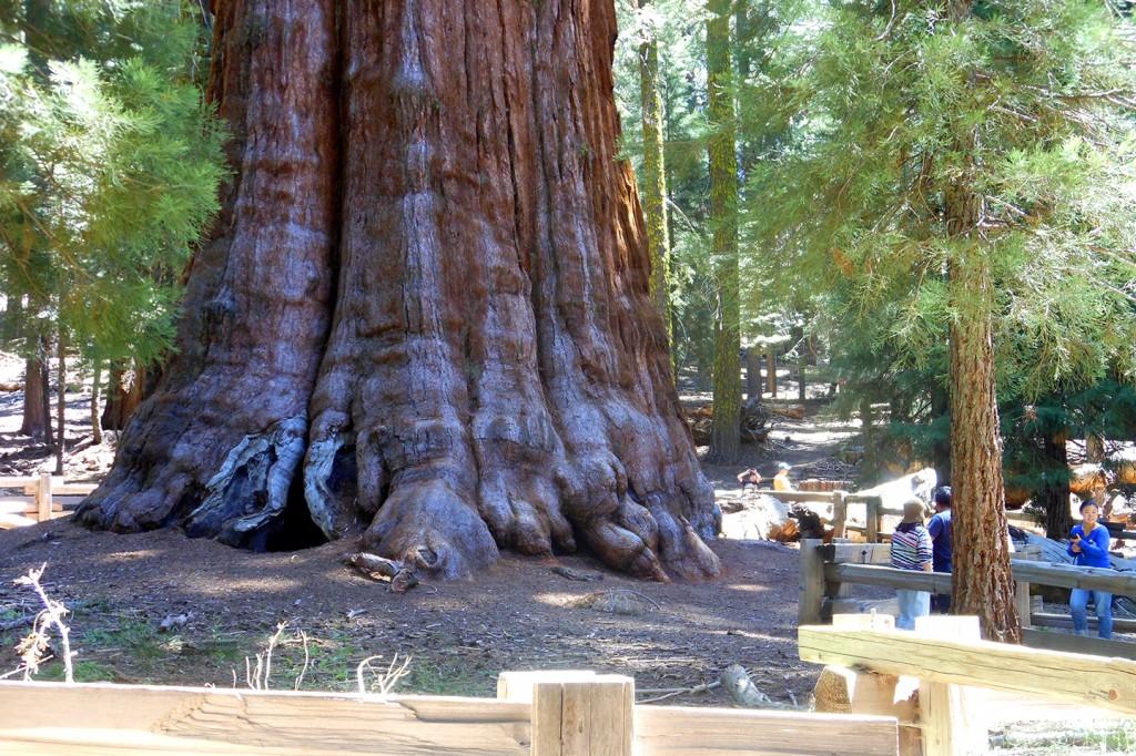 """De grootste boom ter wereld: """"General Sherman tree"""""""